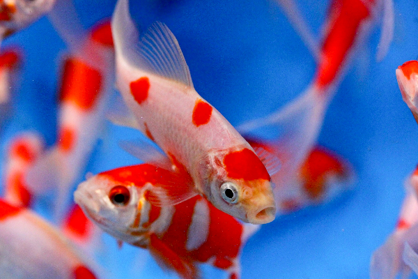New in coldwater and pond fish 12th may the fishroom for Golden ornamental pond fish crossword