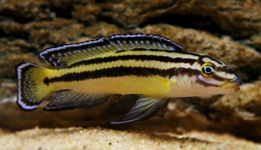 Julidochromis Regani Kipili The Fishroom
