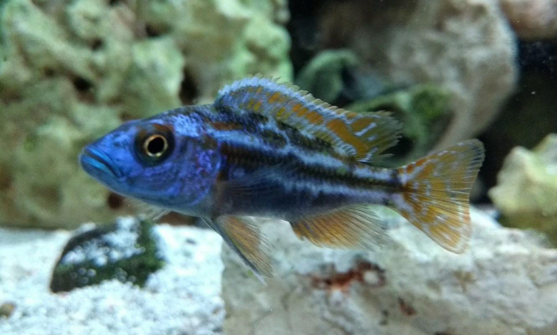 new arrivals tropical fish the fishroom. Black Bedroom Furniture Sets. Home Design Ideas