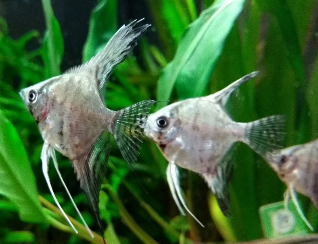 new arrivals now in tropical fish the fishroom